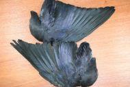 Jacdaw Wings