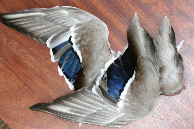 Angelsport-Artikel American Coot Skin Feathers Fly Tying #1 Select Spey Salmon Pelt Wings