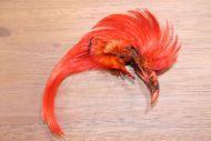 Golden Pheasant Topping Crest Orange