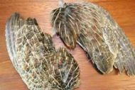 English Grey Partridge Wings