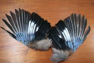 Jay Wings
