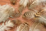 English Grey Partridge Brown Back Hackles