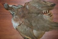 French Partridge Skin