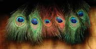 Peacock Eyes Dyed Red